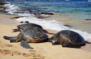 hookipa turtles
